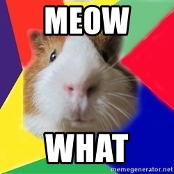 Typical guinea pig - MEOW  WHAT