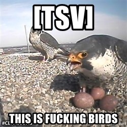 #CEFalcons - [TSV] this is fucking birds