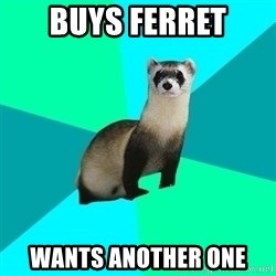 Obvious Question Ferret - buys ferret wants another one