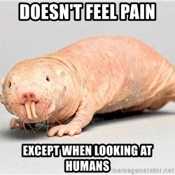 naked mole rat - doesn't feel pain except when looking at humans