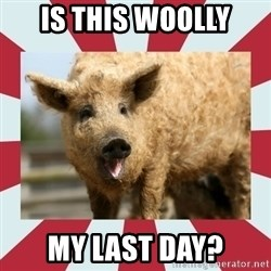 Wooly Pig - Is this woolly my last day?