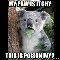 Koala can't believe it - My paw is itchy This is poison ivy?