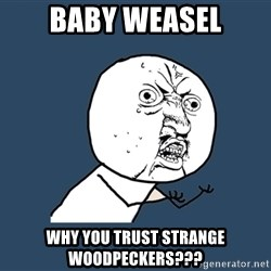 Y U No - baby weasel why you trust strange woodpeckers???