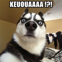 Surprised Husky - KEUOUAAAA !?!