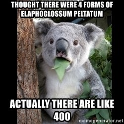 Koala can't believe it - thought there were 4 forms of elaphoglossum peltatum actually there are like 400