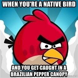 Angry Bird - When you're a native bird and you get caught in a brazilian pepper canopy