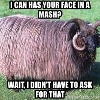Churro Sheep Wouldn't - i can has your face in a mash? wait, i didn't have to ask for that