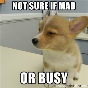 Unsure Corgi - Not sure if mad or busy