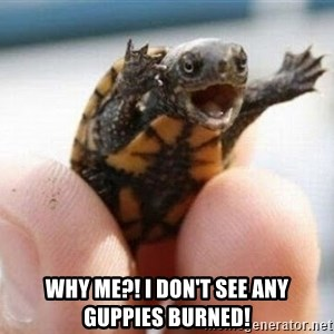 angry turtle -  WHY ME?! I don't see any guppies burned!