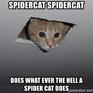 Ceiling cat - spidercat spidercat does what ever the hell a spider cat does
