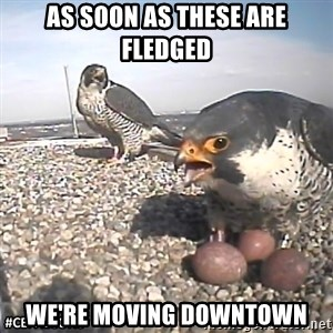 #CEFalcons - As soon as these are fledged We're moving Downtown