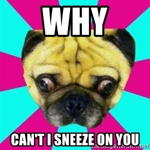 Perplexed Pug - why can't i sneeze on you