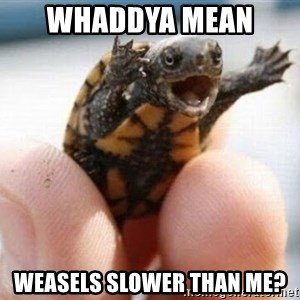 angry turtle - Whaddya mean  Weasels slower than me?