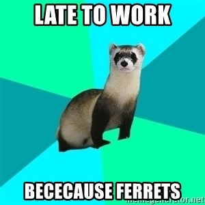Obvious Question Ferret - Late to work Bececause ferrets