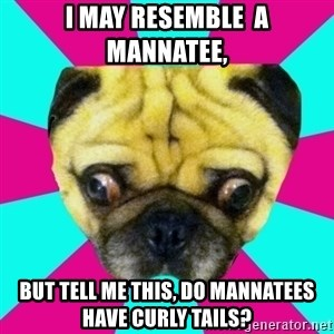 Perplexed Pug - I may resemble  a mannatee, But tell me this, Do mannatees have curly tails?