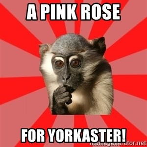 Indecisive Chimp - A Pink rose for yorkaster!