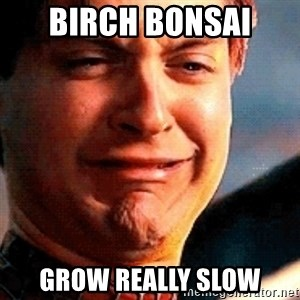 Crying Tobey Maguire - Birch Bonsai  grow really slow