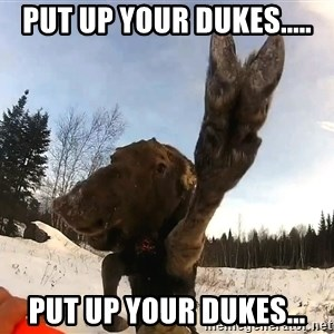 Peace Out Moose - Put up your dukes..... put up your dukes...