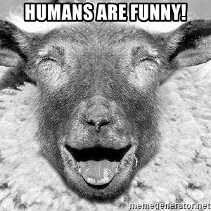 Laughing Sheep - Humans are funny!