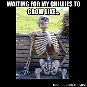 Still Waiting - waiting for my chillies to grow like...