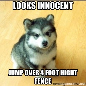Baby Courage Wolf - Looks Innocent JUMP OVER 4 FOOT HIGHT FENCE