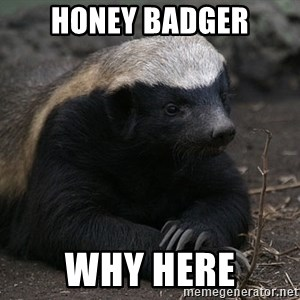 Honey Badger - honey badger why here