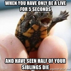 angry turtle - when you have only be a live for 5 seconds  and have seen half of your siblings die