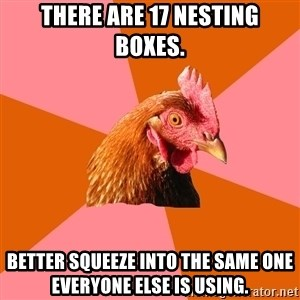 Anti Joke Chicken - There are 17 nesting boxes. Better squeeze into the same one everyone else is using.
