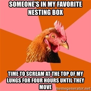 Anti Joke Chicken - Someone's in my favorite nesting box Time to scream at the top of my lungs for four hours until they move