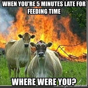 Evil Cows - when you're 5 minutes late for feeding time where were you?