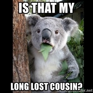 Koala can't believe it - is that my long lost cousin?