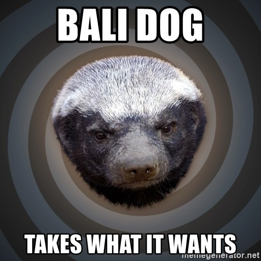 Fearless Honeybadger - Bali Dog Takes What it wants