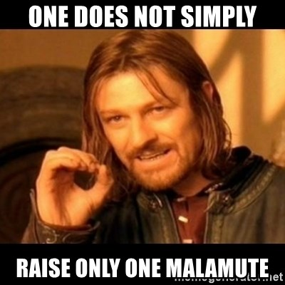 Does not simply walk into mordor Boromir  - one does not simply raise only one malamute
