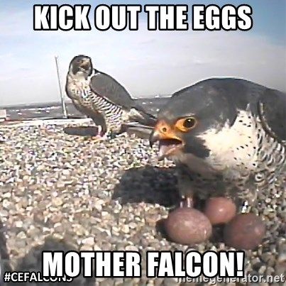 #CEFalcons - kick out the eggs mother falcon!