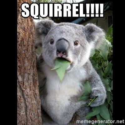 Koala can't believe it - squirrel!!!!
