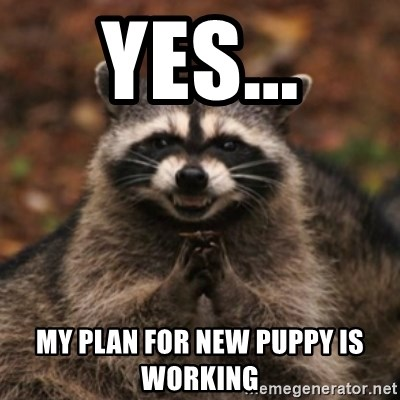 evil raccoon - yes... my plan for new puppy is working