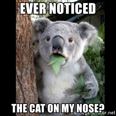 Koala can't believe it - ever noticed the cat on my nose?