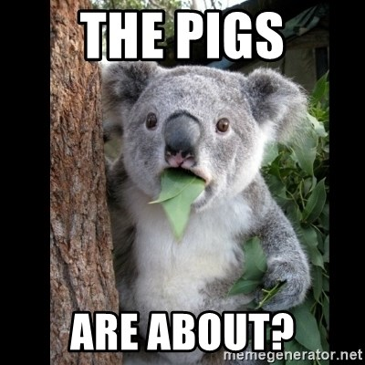 Koala can't believe it - THE PIGS ARE ABOUT?