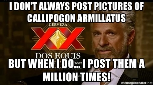 Dos Equis Man - I don't always Post pictures of Callipogon armillatus But when I do... I post them a million times!