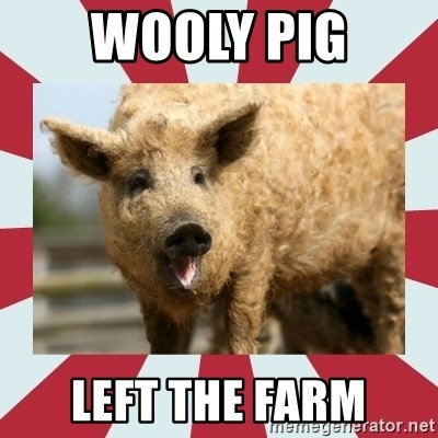 Wooly Pig - wooly pig left the farm