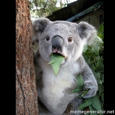 Koala can't believe it -