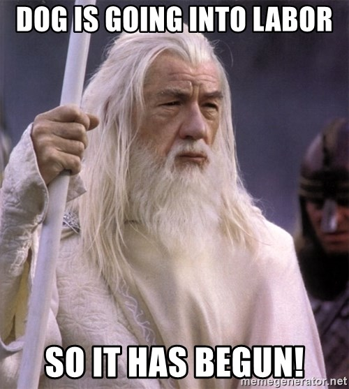 White Gandalf - Dog is going into labor So it has begun!