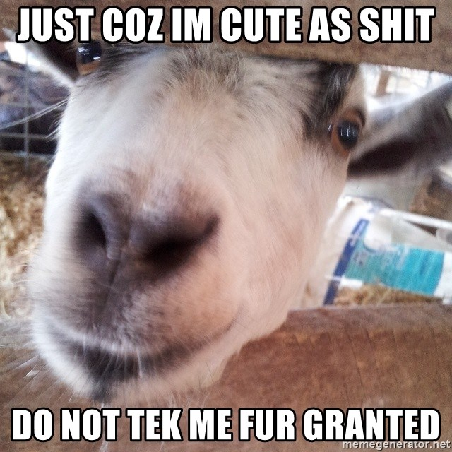 Animals with song quotes - just coz im cute as shit do not tek me fur granted