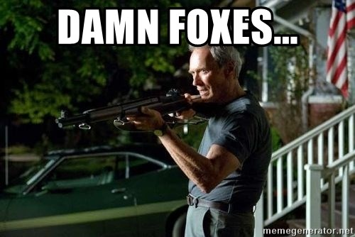 Clint Eastwood Get Off My Lawn - Damn foxes...